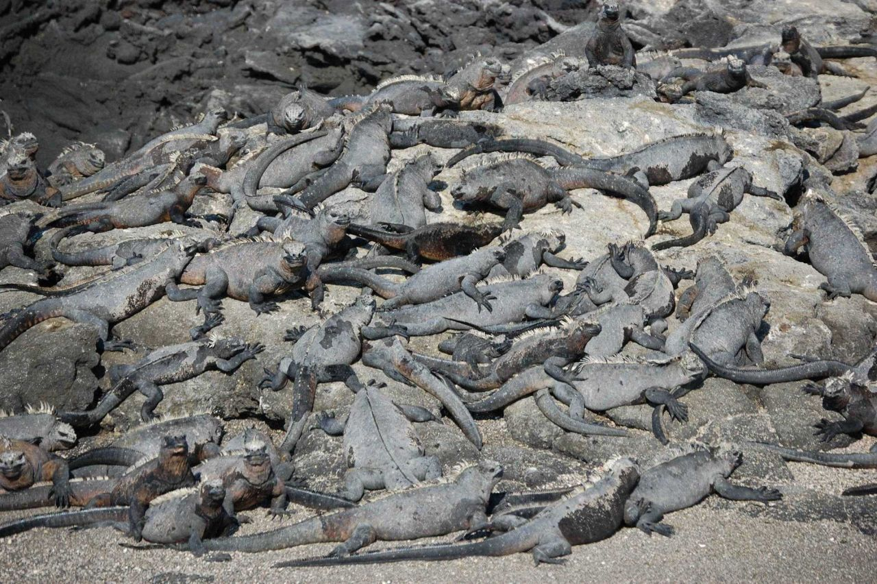 Gregarious marine iguanas holding a convention. Photo