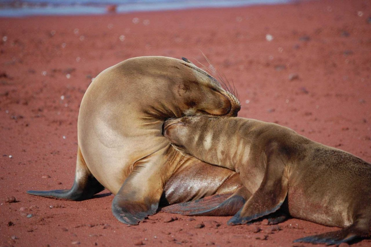 Mother sea lion and pup love - a remarkable display of affection Photo