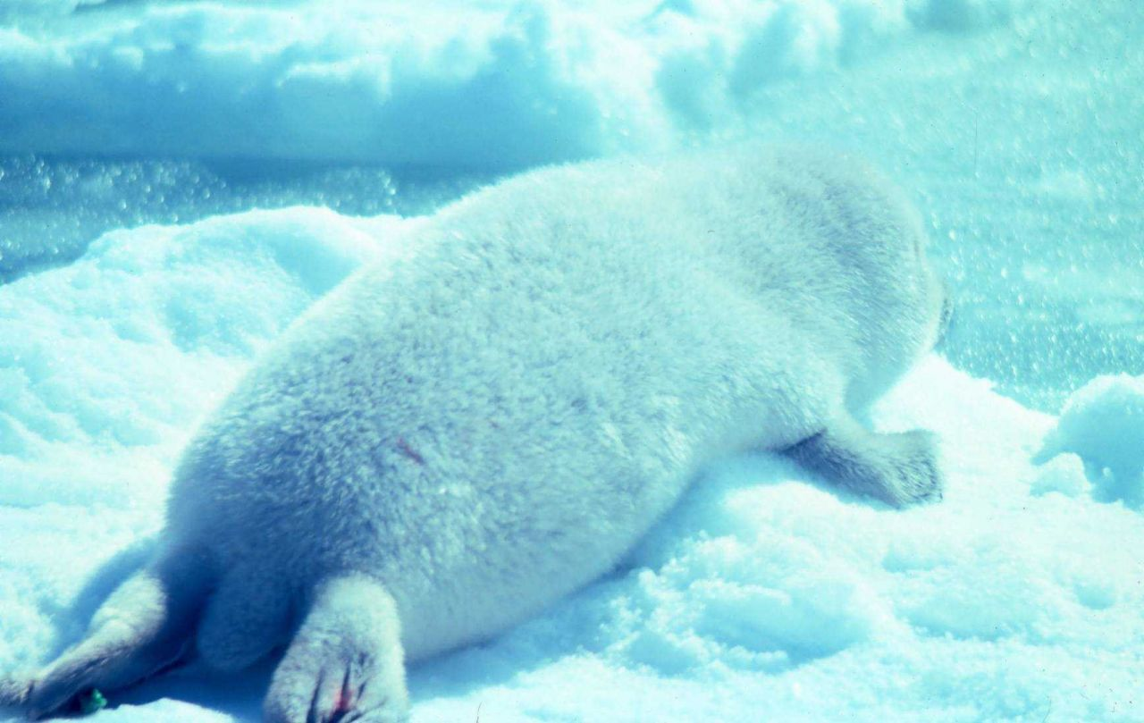 Ribbon seal pup on the ice. Photo