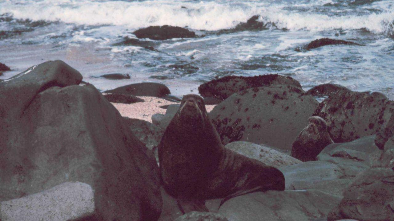Northern fur seal - Callorhinus ursinus. Photo