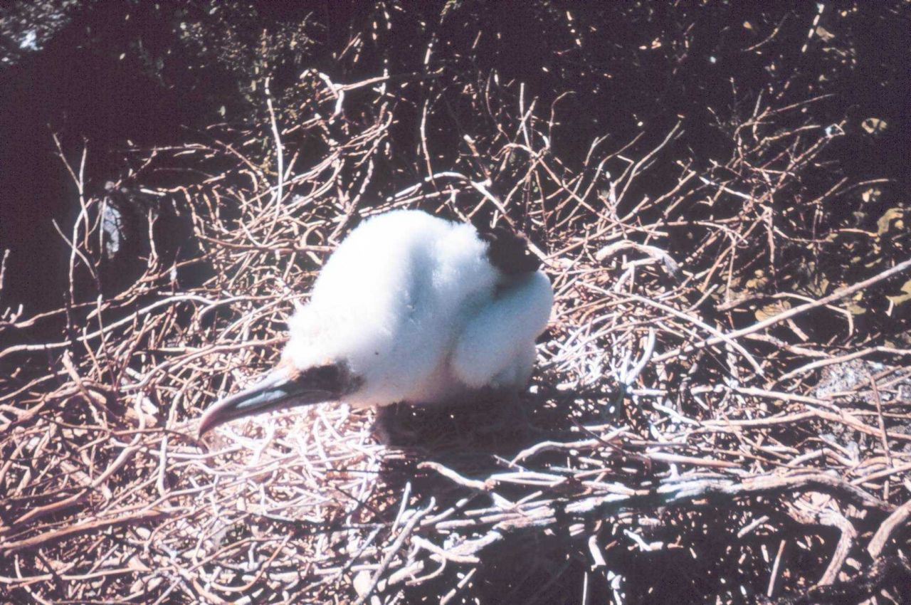 Booby chick. Photo