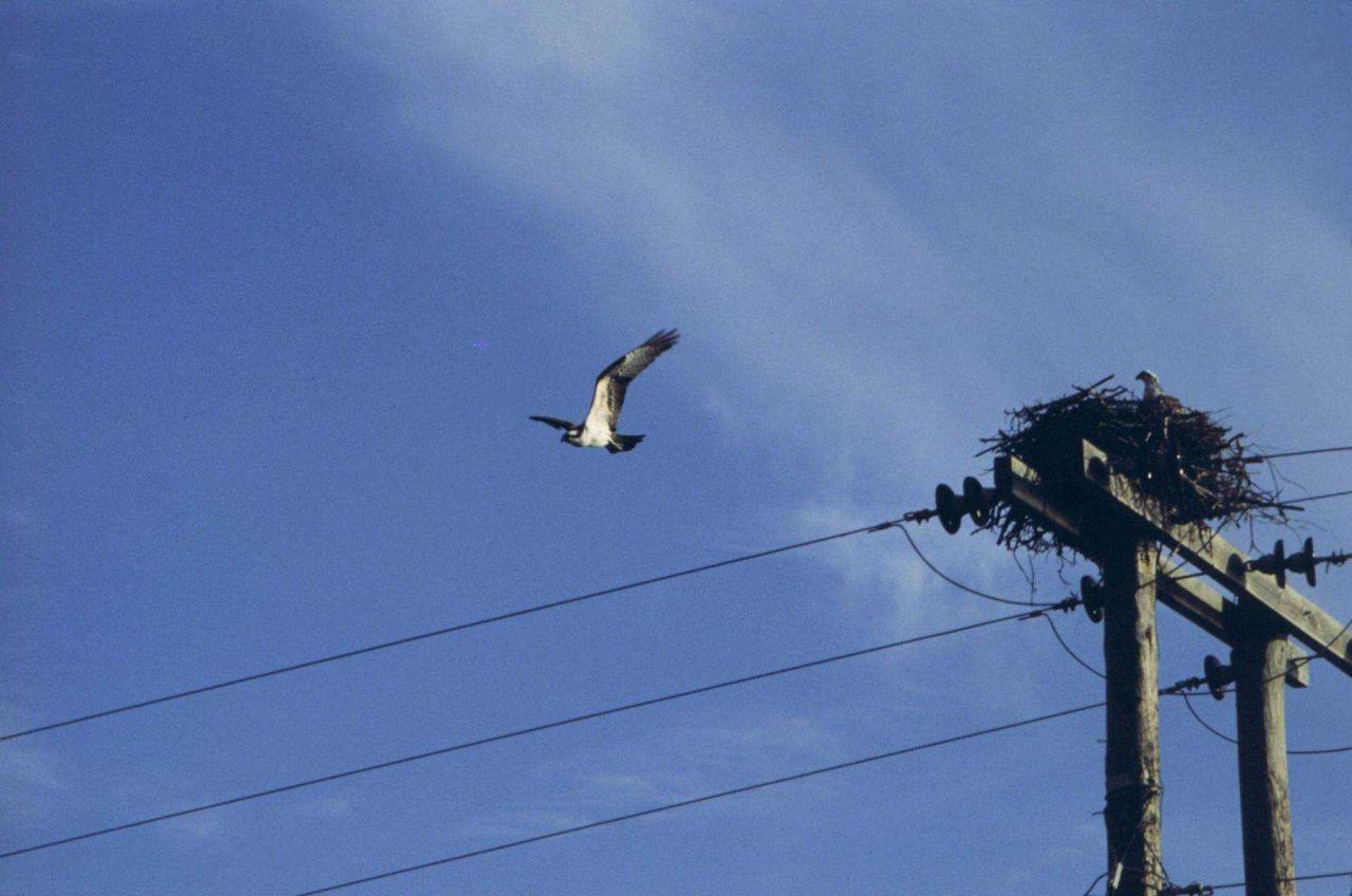 Osprey in flight and on nest. Photo