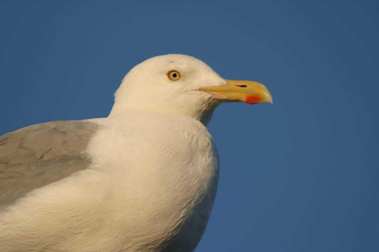 Portrait of an Atlantic gull (Larus michahellis). Photo
