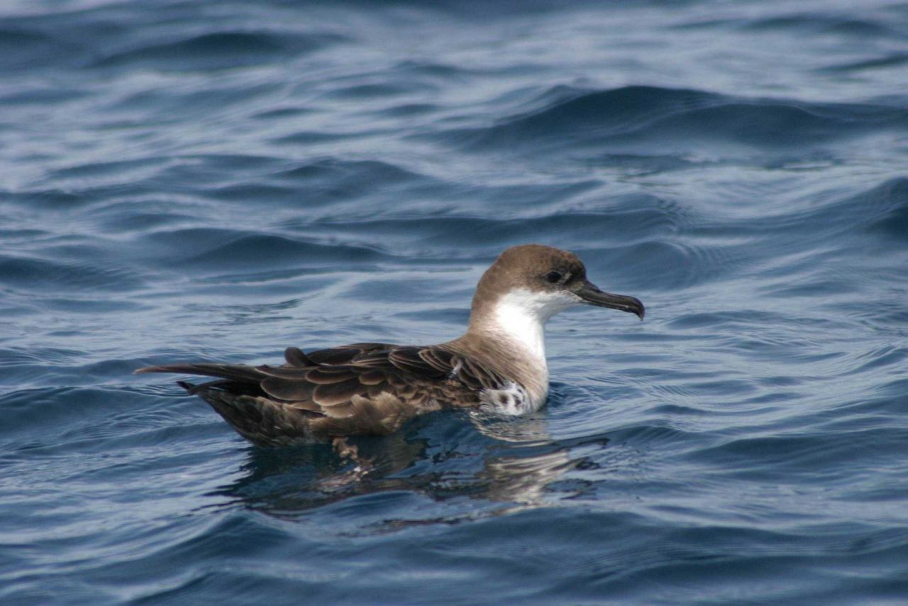 Atlantic marine bird. Photo