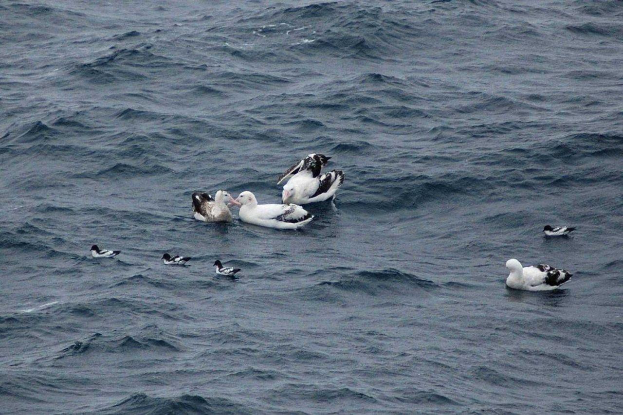 Wandering albatross. Photo