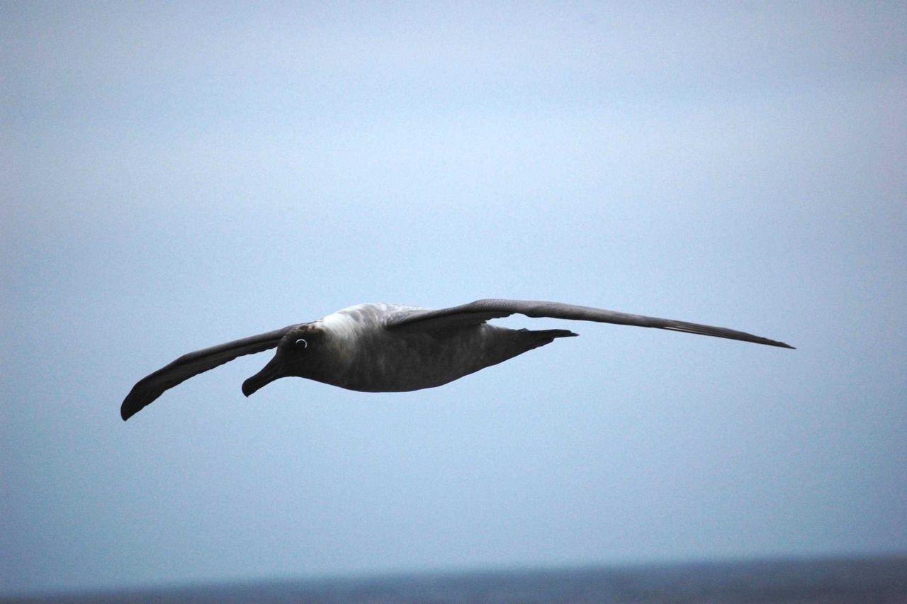 Light-mantled sooty albatross. Photo