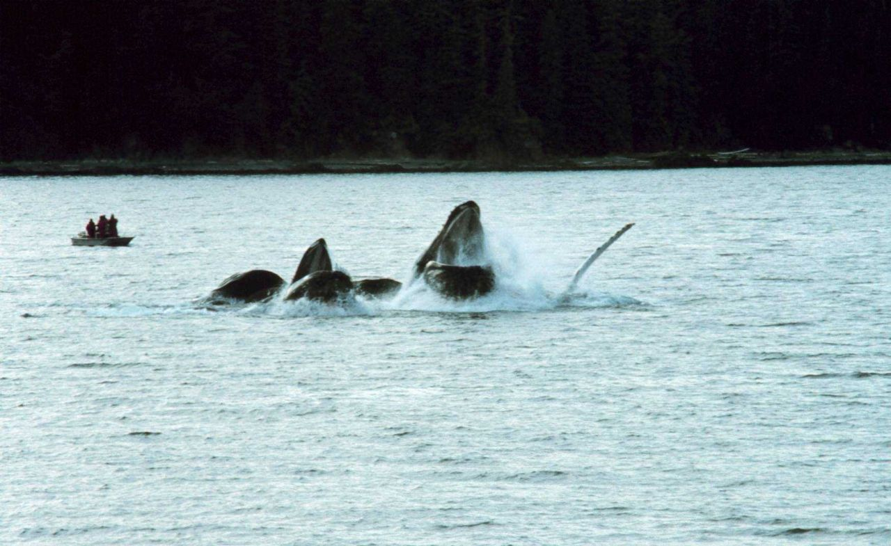 Humpbacks feeding on krill Photo