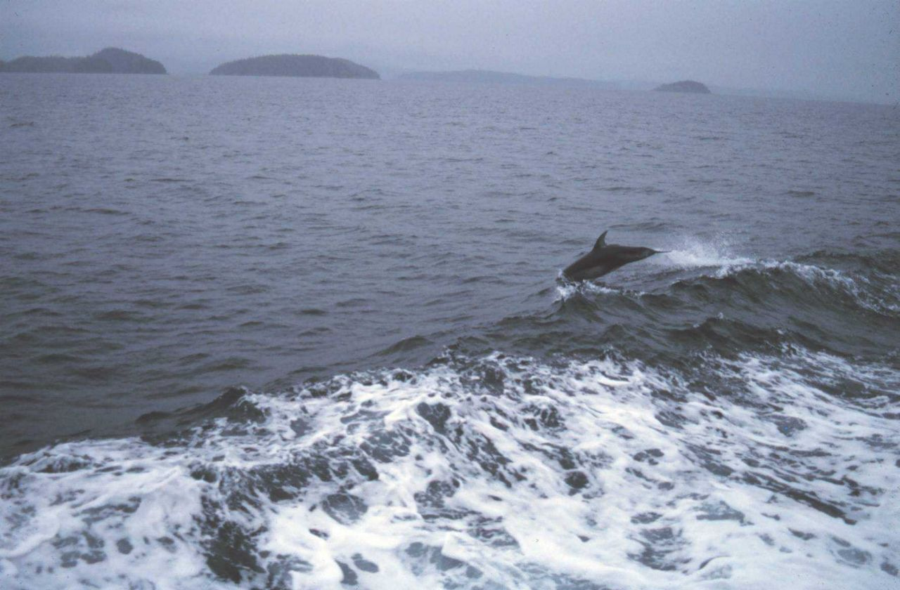 Dolphin riding in the bow wave of the NOAA Ship FERREL. Photo