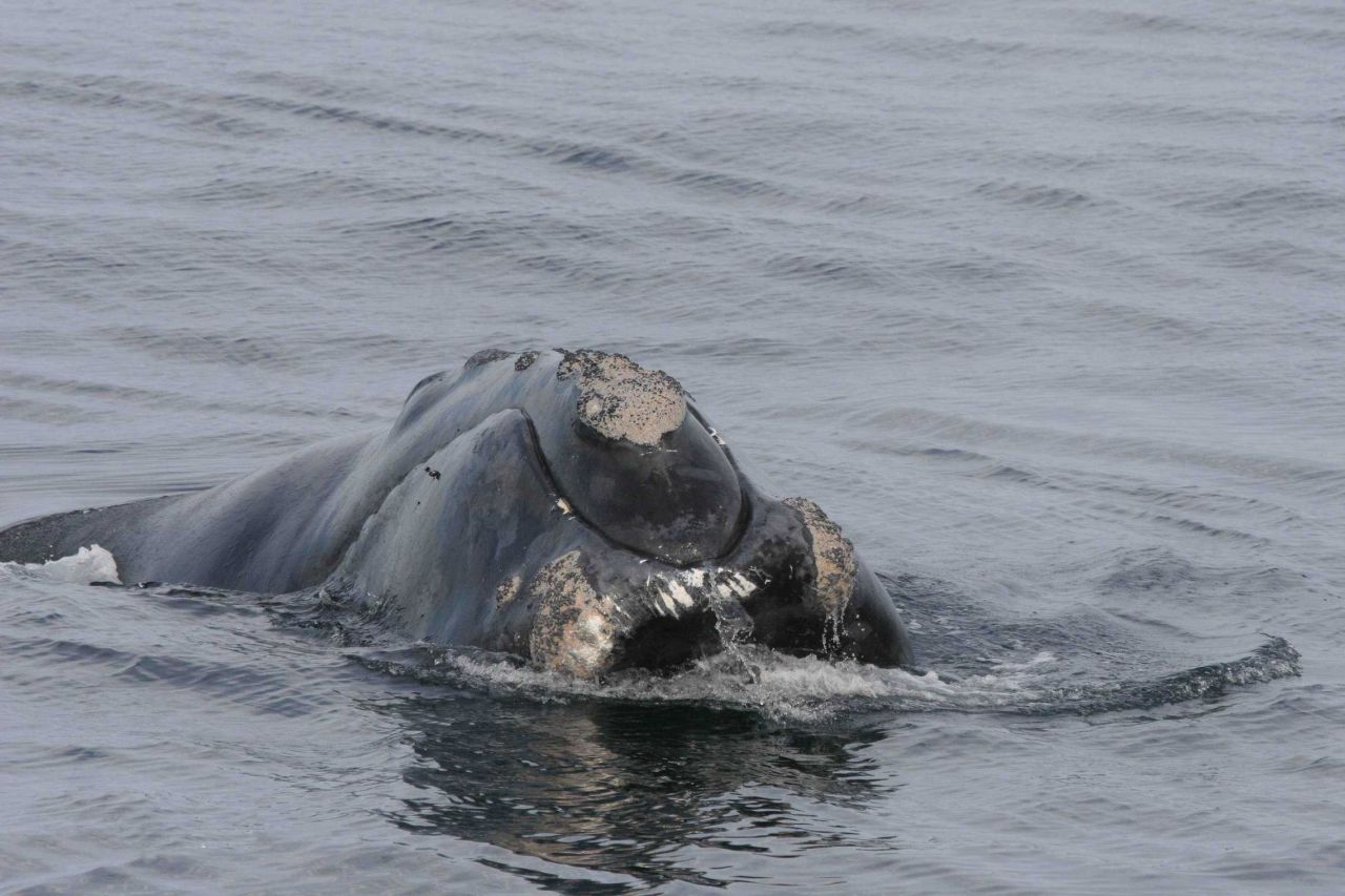 Head of North Atlantic right whale. Photo
