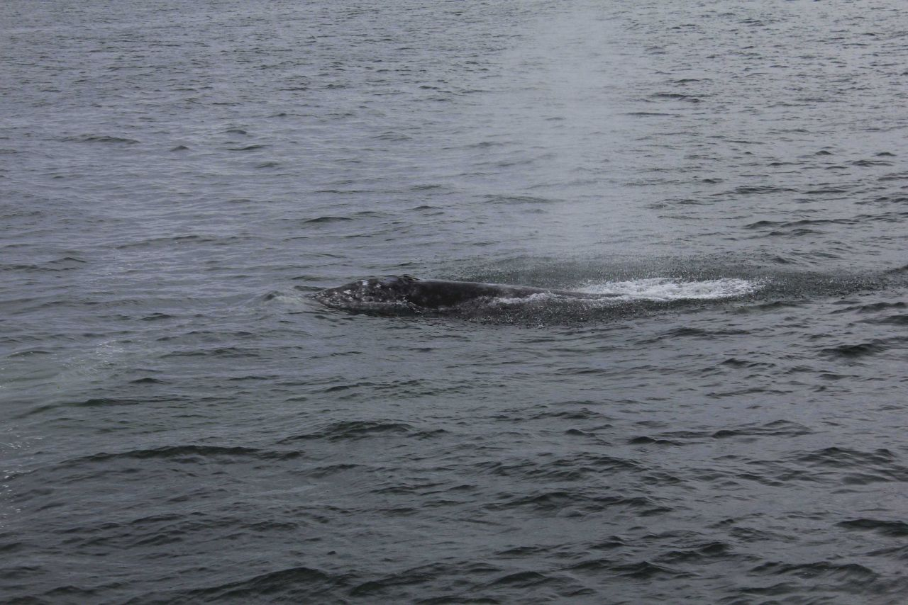 Unidentified whale on surface Photo