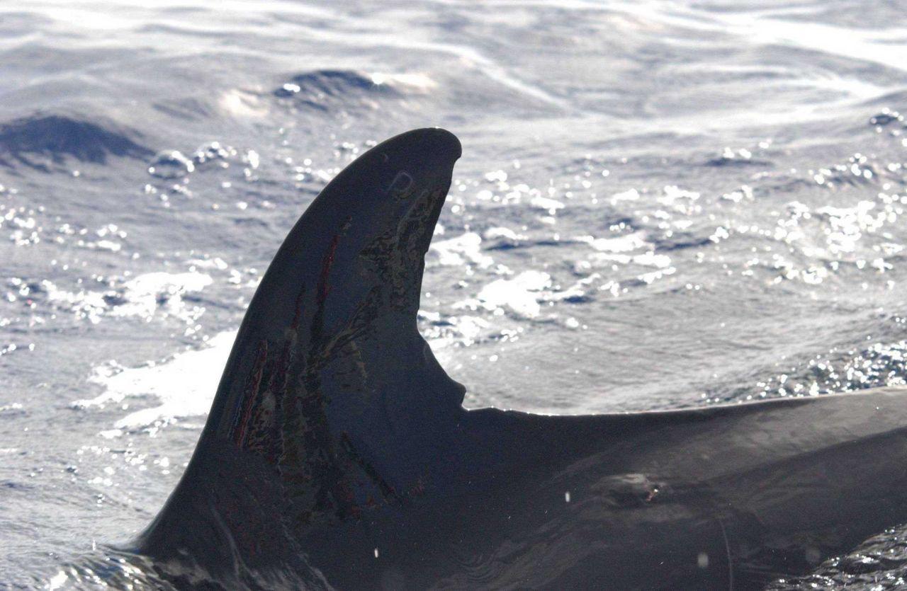 False killer whale Photo