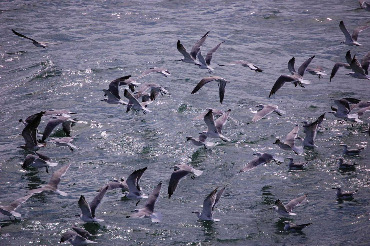 Seagulls feeding from bycatch thrown overboard from shrimp trawler. Photo