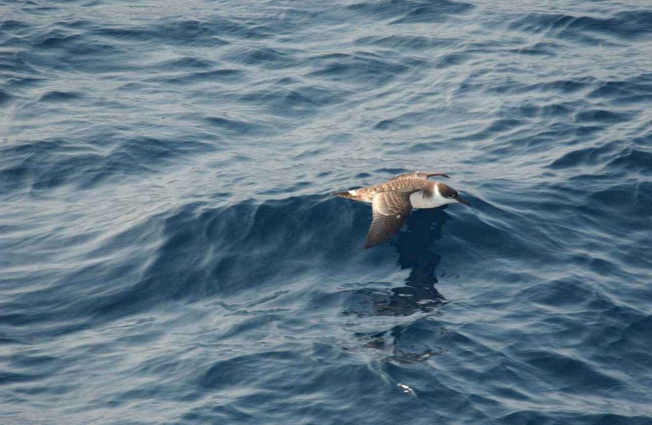 Greater shearwater (Puffinus gravis) gliding near to water Photo