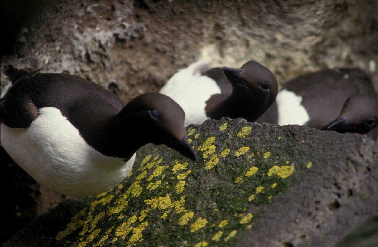 Common murre Photo