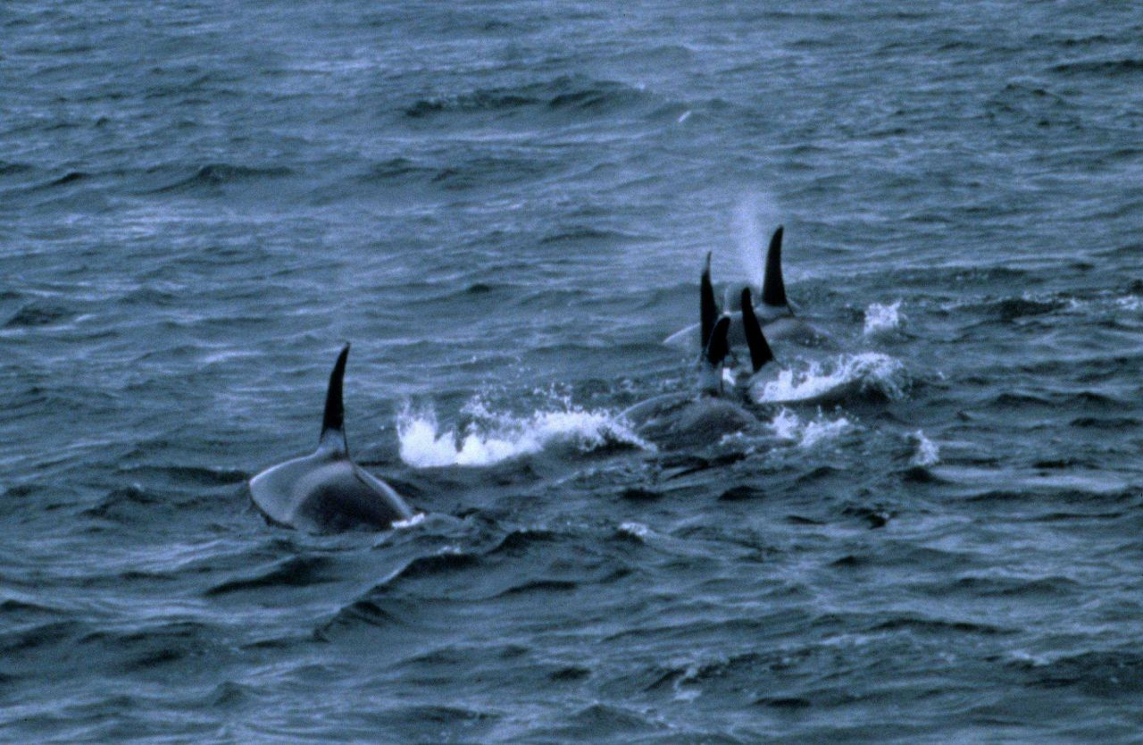 A pod of killer whales Photo
