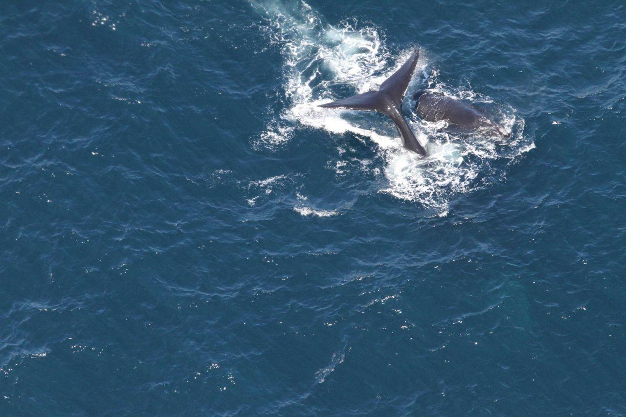 The North Atlantic right whales Arpeggio and her calf Photo