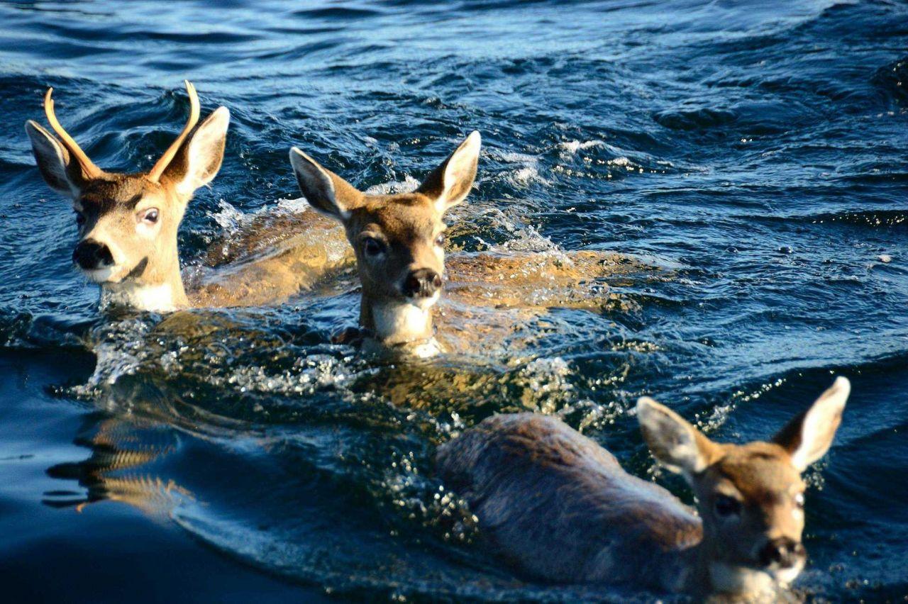 Deer taking a swim in the ocean. Photo