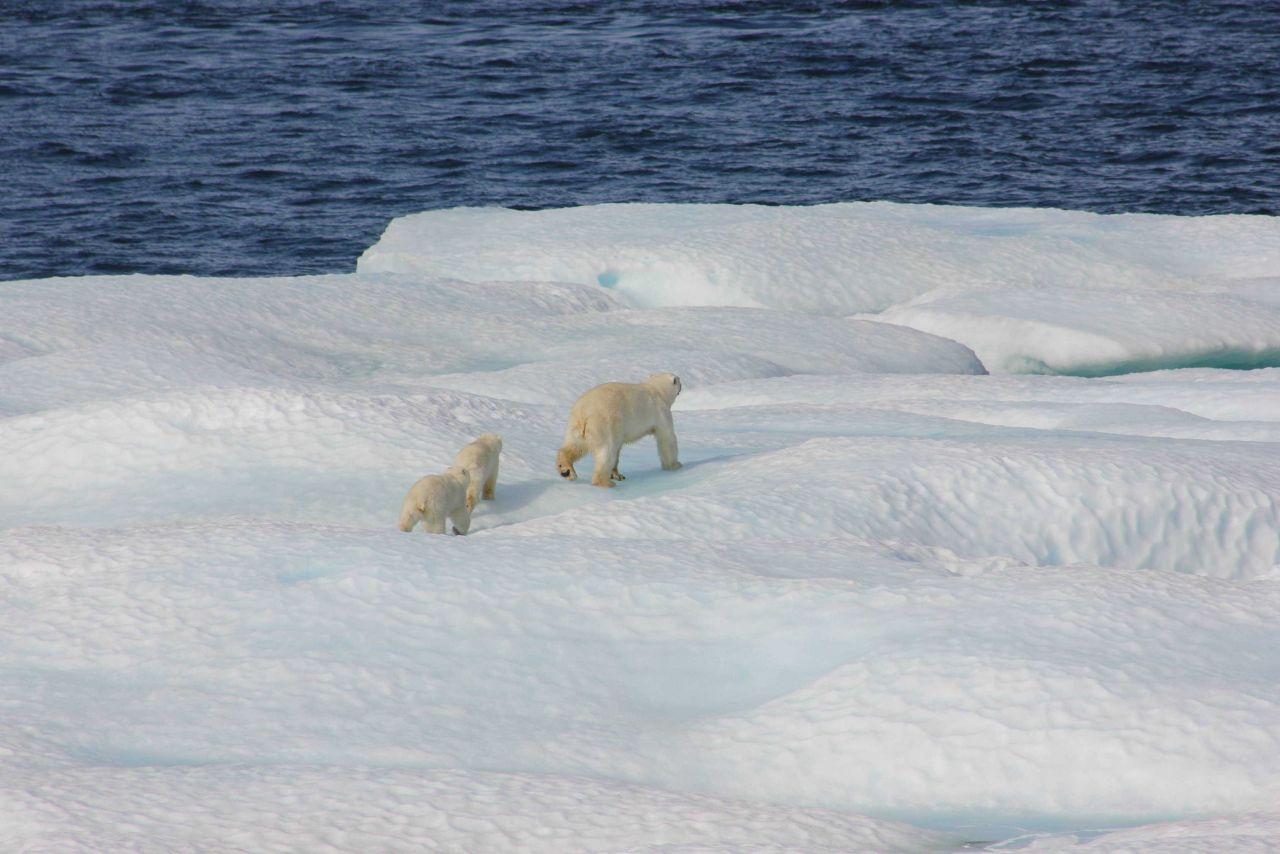 Polar bear and two cubs on ice floe. Photo