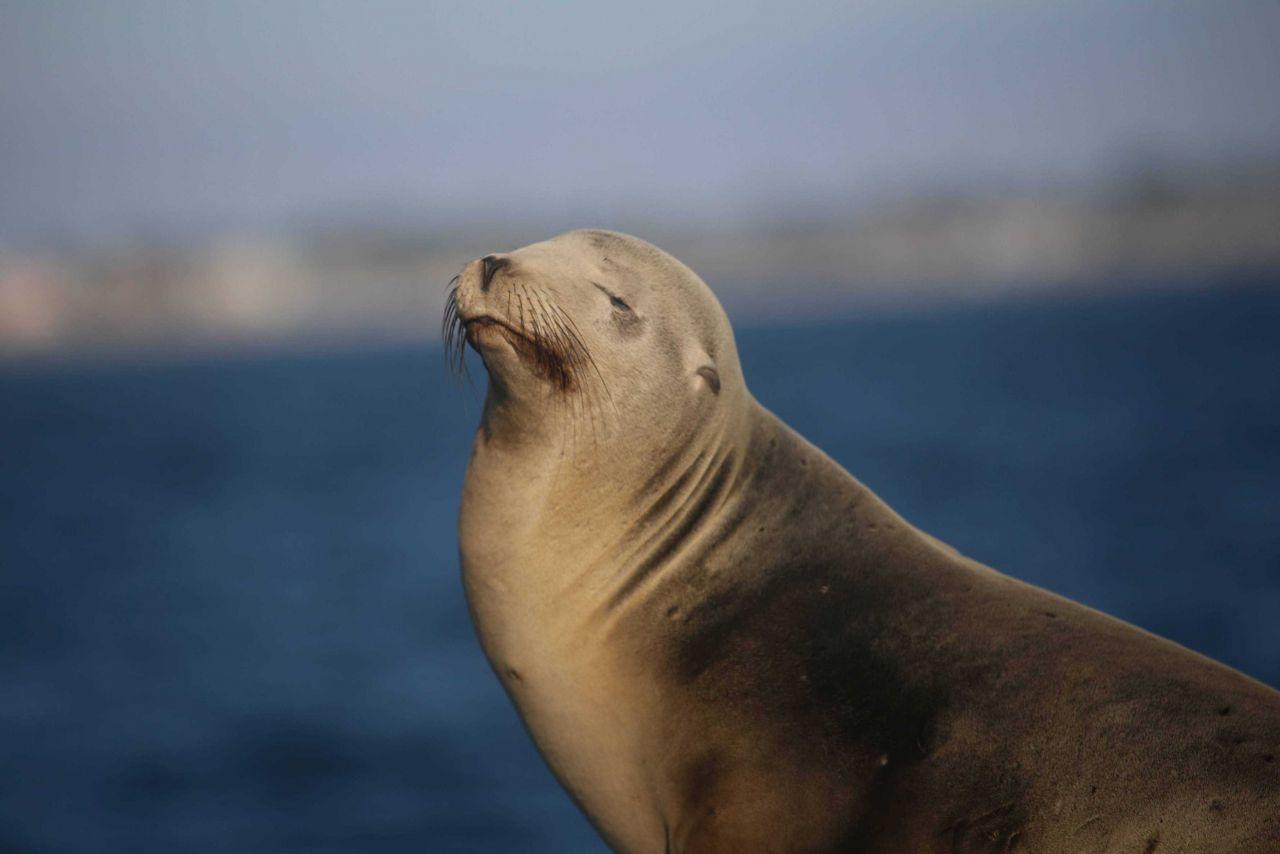 Steller sea lion posing. Photo