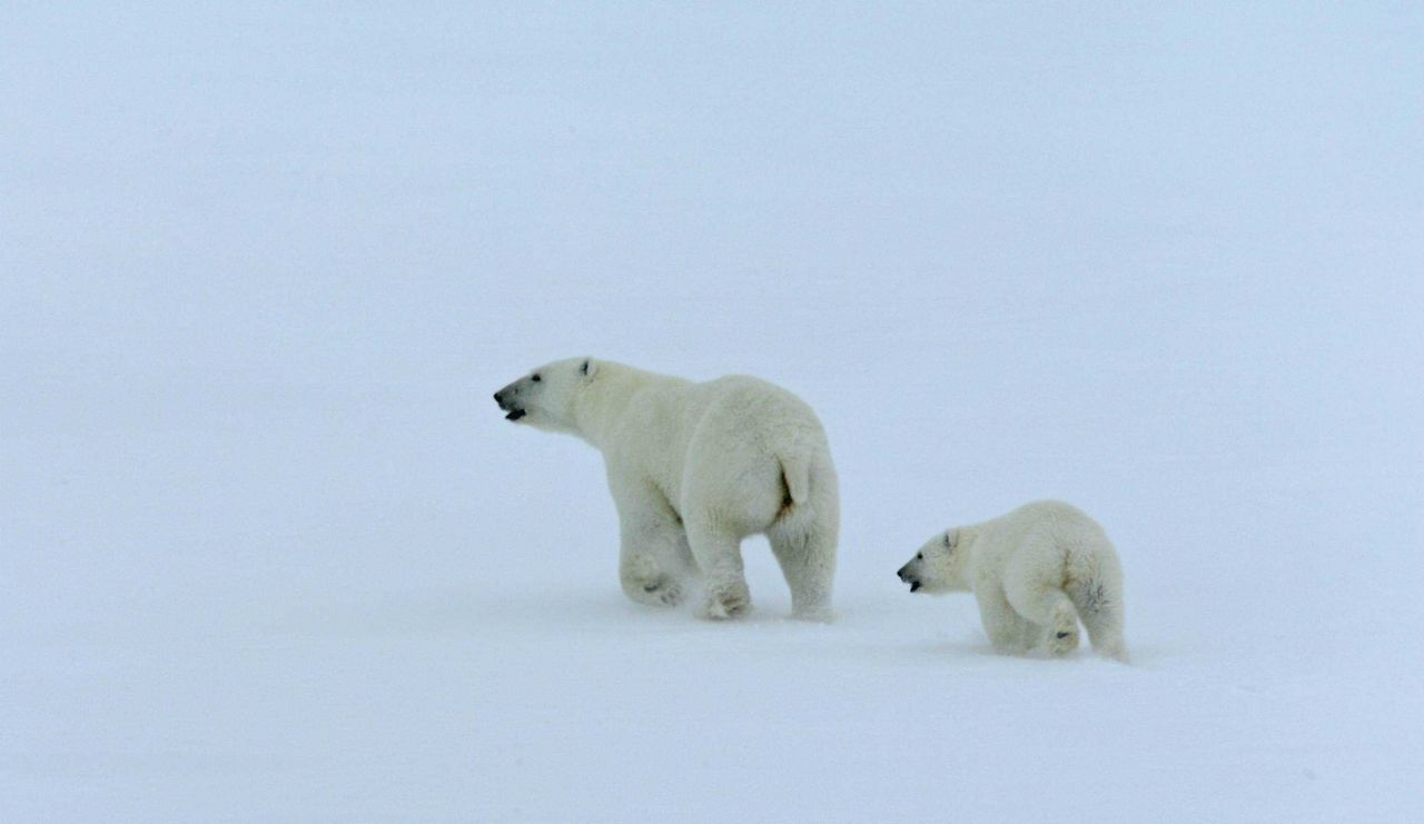 Mother polar bear and cub (Ursus maritimus) Photo