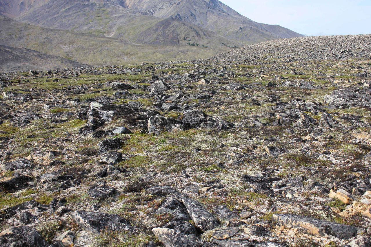 Frost-heaved lichen covered rocks interspersed with Arctic plants along the Kougarok Highway. Photo