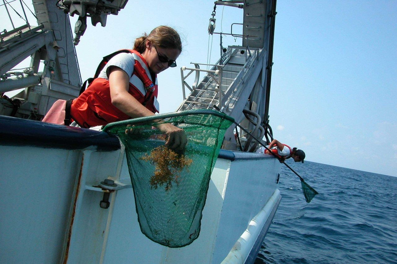 Patches of sargassum floating at the surface are often home to a large diversity of marine animals Photo