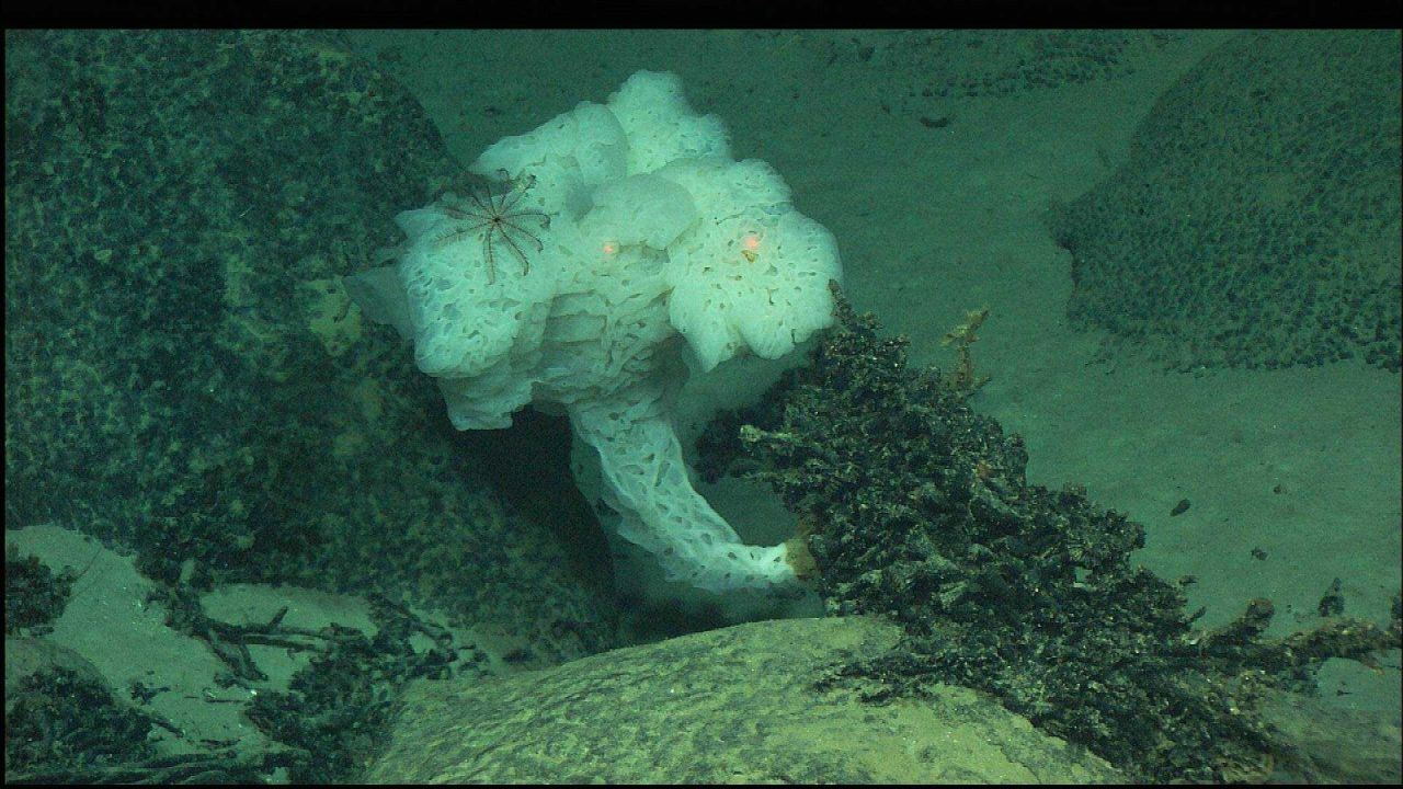 A fantastically shaped white sponge with a cranberry crinoid. Photo
