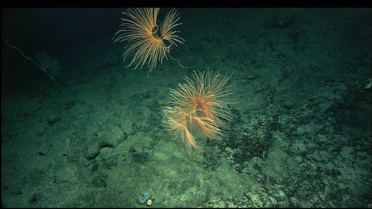 Beautiful spiraling Iridorgia sp. Photo