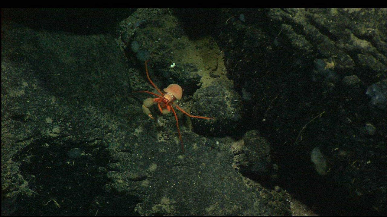 Squat lobster on black rock outcrop Photo