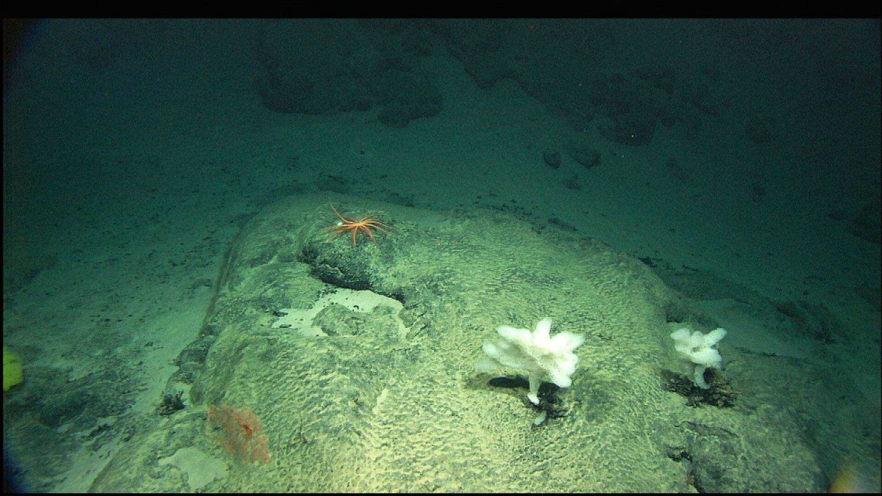 White ruffle sponges, a large seastar, and bamboo coral Acanella (lower left) on rock outcrop. Photo