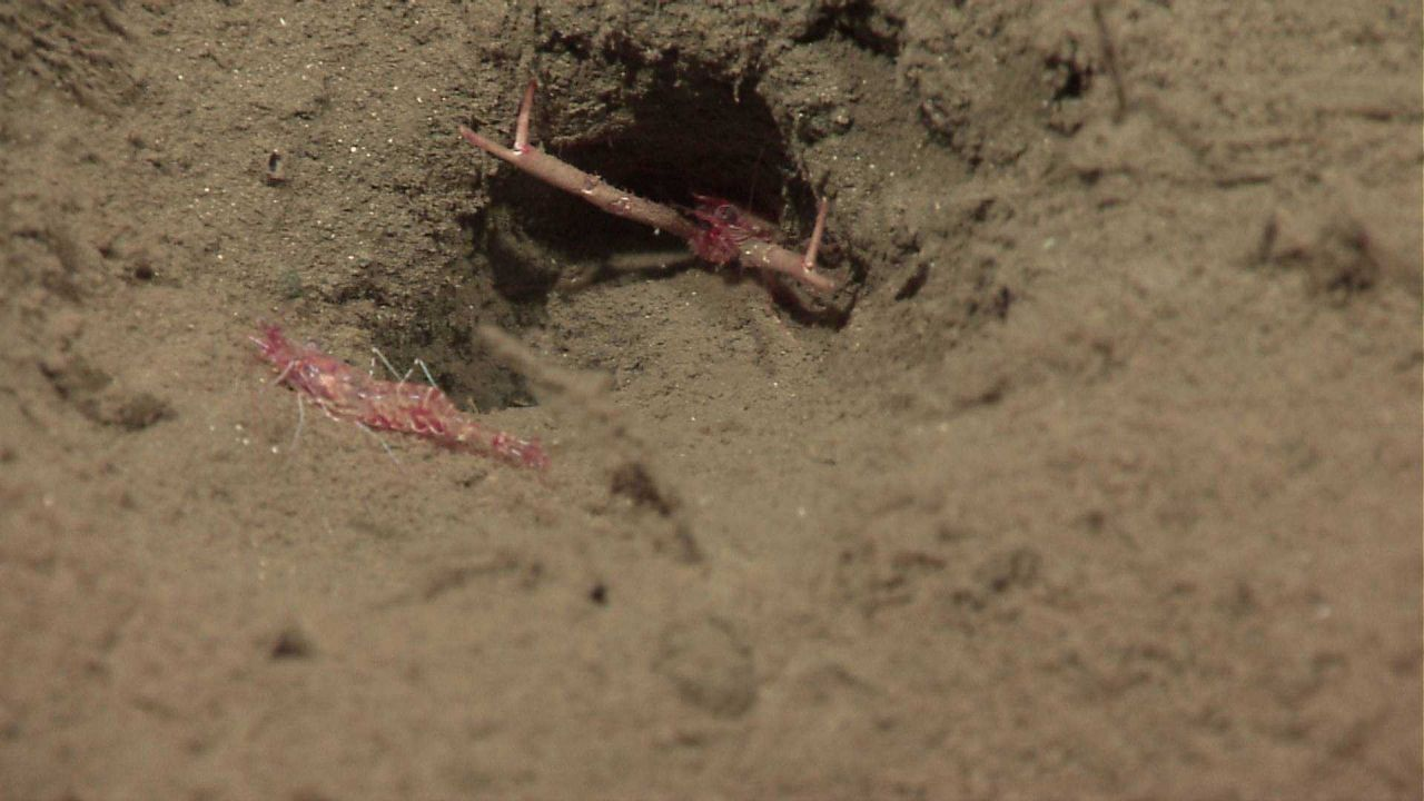 Shrimp with inhospitable squat lobster barring entrance to its burrow. Photo
