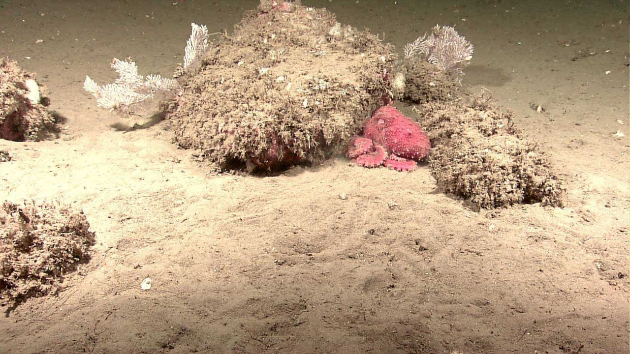 A red octopus laying next to a mound with white coral bushes. Photo