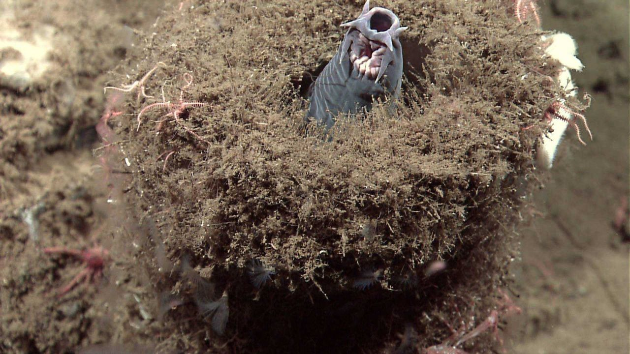 A hagfish protruding from a sponge Photo
