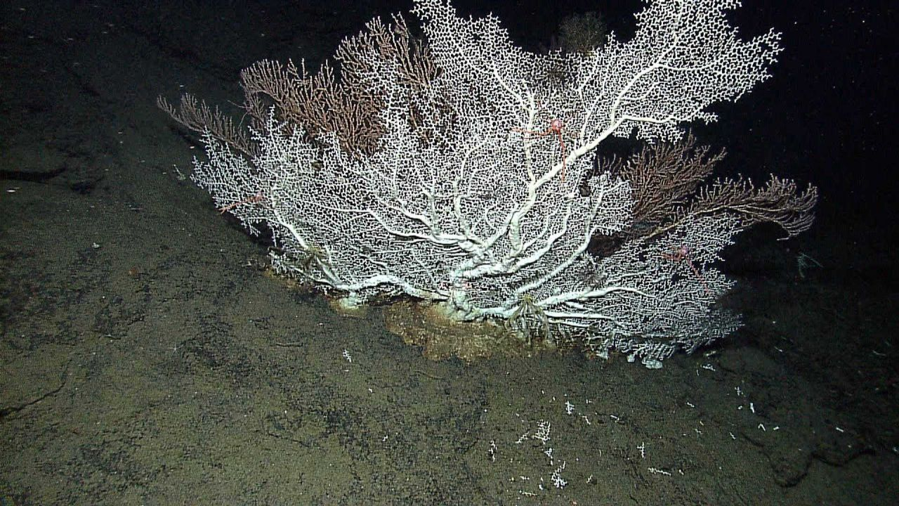 Scleractinian hard coral imaged by the Little Hercules ROV at 1382 meters depth Photo