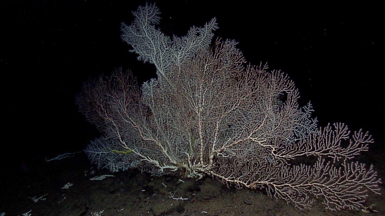A large white scleractinian coral. Photo