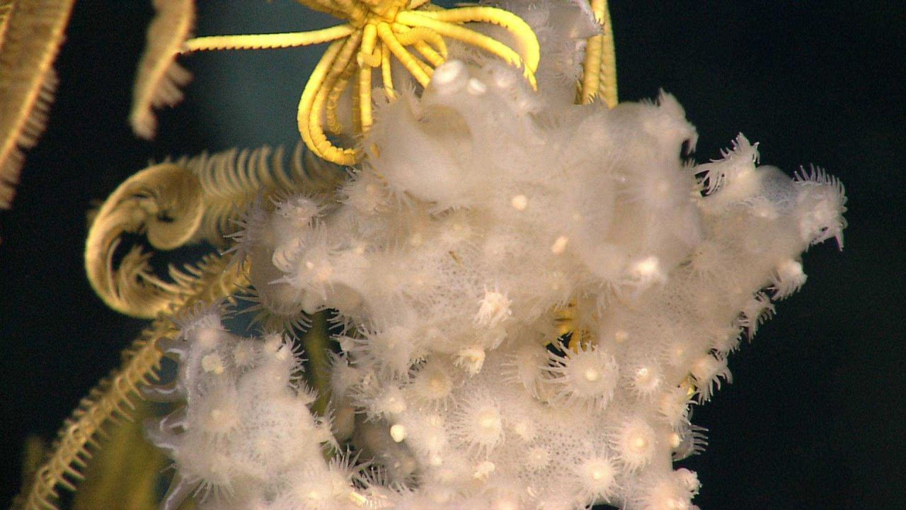 White zoanthids on white sponge with yellow crinoid behind Photo