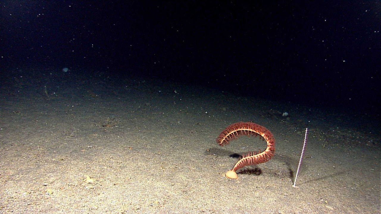 A sea pen octoral bent into a question mark and a vertical whip coral. Photo