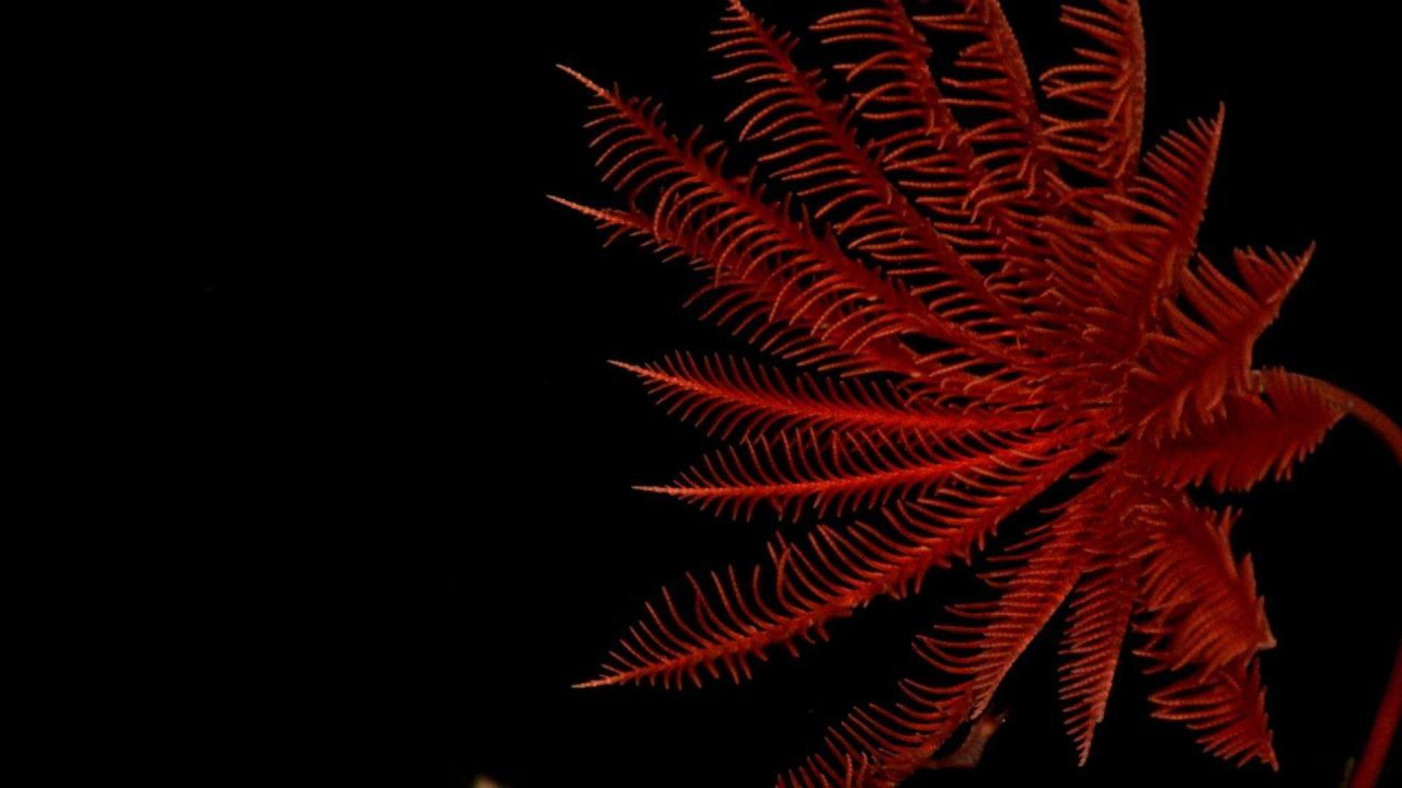 A red stalked sea lily crinoid Photo