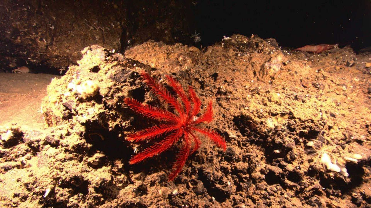 A red feather star crinoid and a large shrimp and a small white feather star crinoid to the right Photo