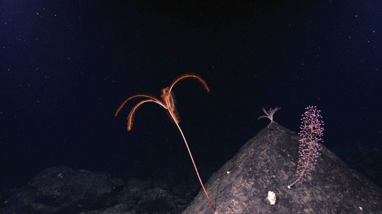 A large red sea lily crinoid, a white feather star crinoid at the top of the rock outcrop, and a chrysogorgia coral. Photo