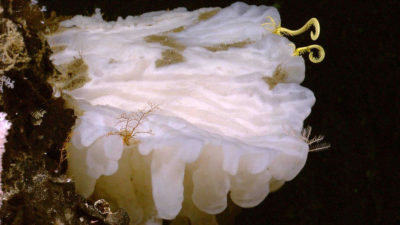 Large white glass sponge with yellow crinoid to right and white hydroid. Photo