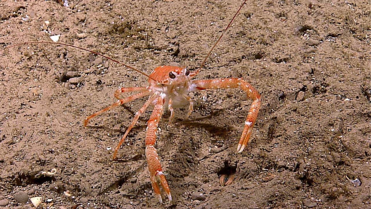 Red and orange squat lobster on sandy substrate Photo