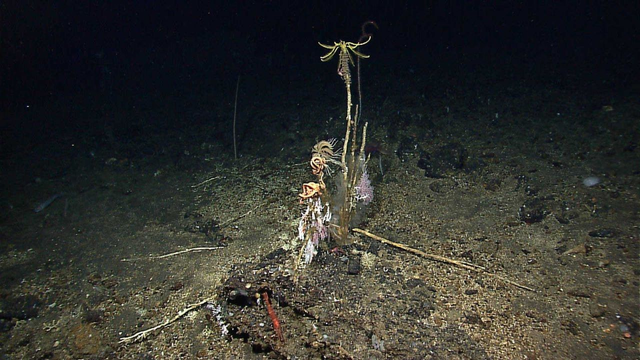 Crinoids, small corals and dead stalks of what may have been whip corals give an eerie feeling to this image Photo