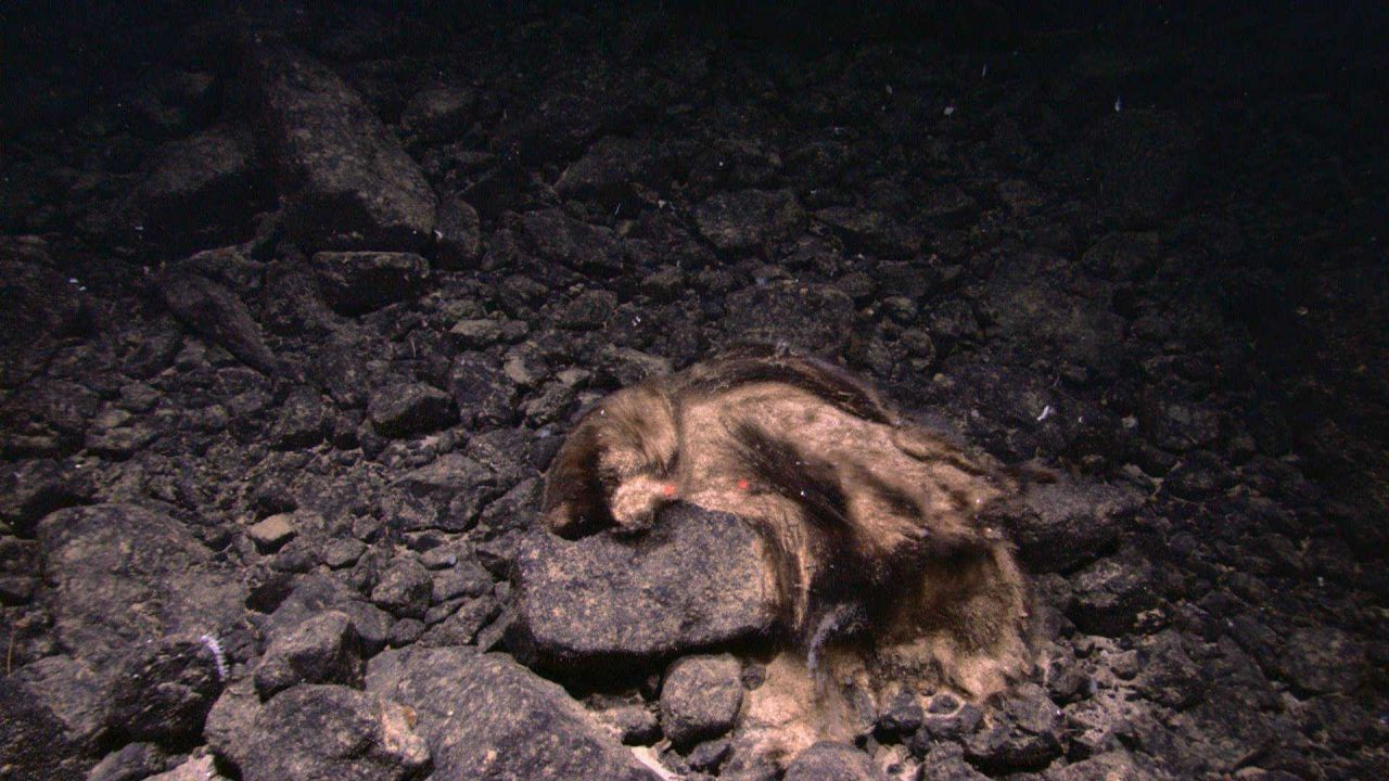 In this image, this appears to be a discarded bear skin on a rock outcrop Photo