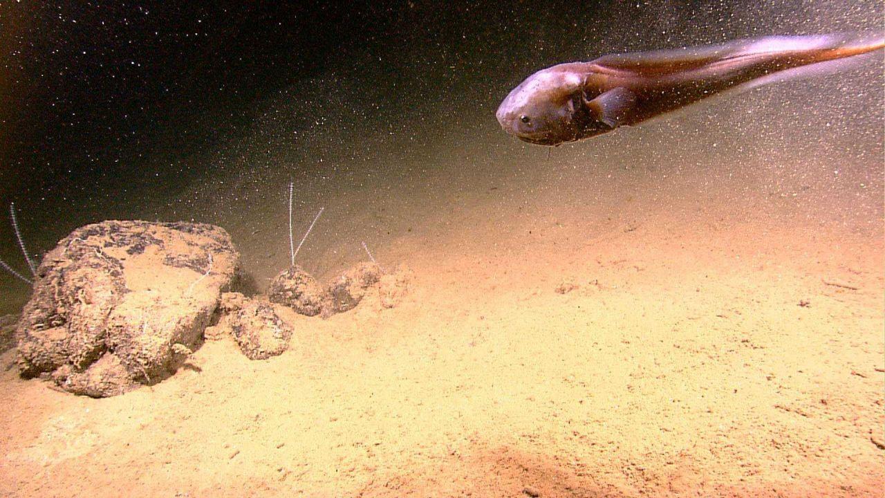 A snailfish - a member of the Liparidae family Photo