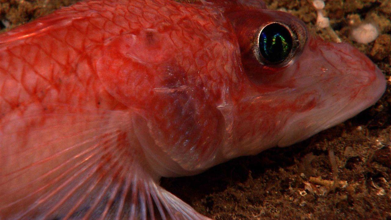 Orange-banded scorpionfish (Neosebastes entaxis) Photo