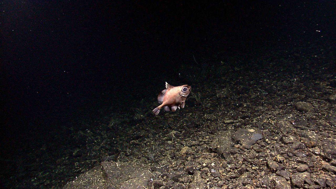 A boarfish Photo