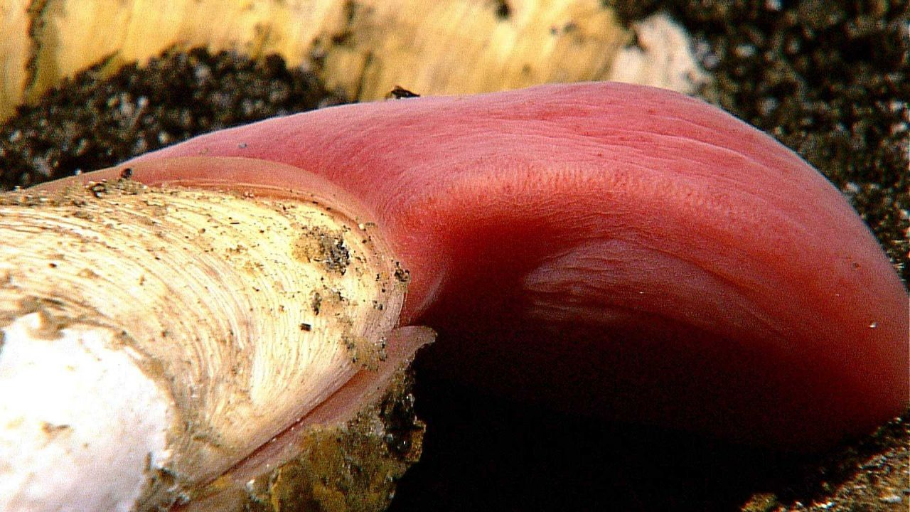 Large protruding muscular foot of clam is red because of intracellular hemoglobin Photo