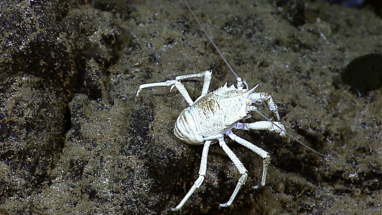 White squat lobster on rock outcrop Photo