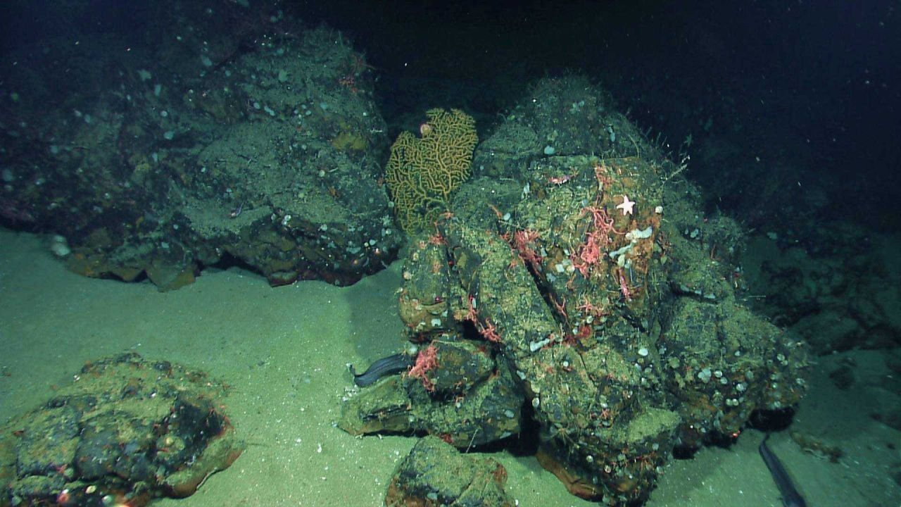 Numerous brittle stars, a gold coral bush, and a relatively large deep sea fish in a rock and sand environment. Photo
